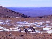 more alpaca