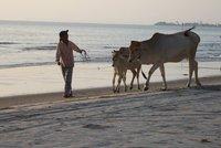 cows being taken home sihanoukville