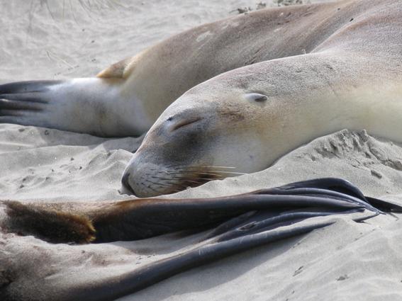 NZ Surat Bay - søløver