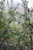 Papa_-_apple_orchard.jpg