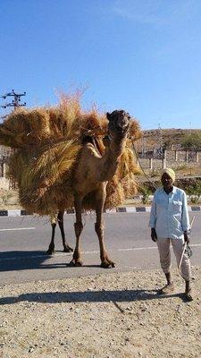 un fermier et son chameau - parti en ville pour vendre son foin