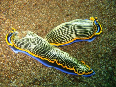 2 Nudibranches