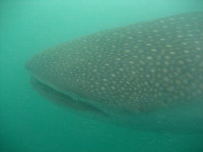 Whale_Shark_Head1.jpg