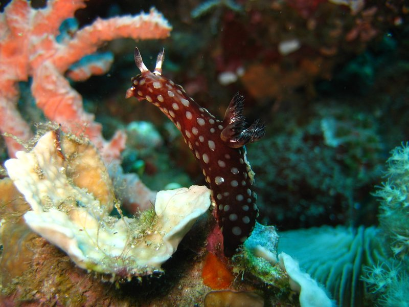 Nudibranch (yes, even Camiguin has them)