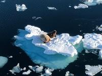 Wild walrus in the Arctic Ocean!