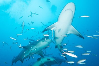 Dive with bull Sharks - Beqa Lagon