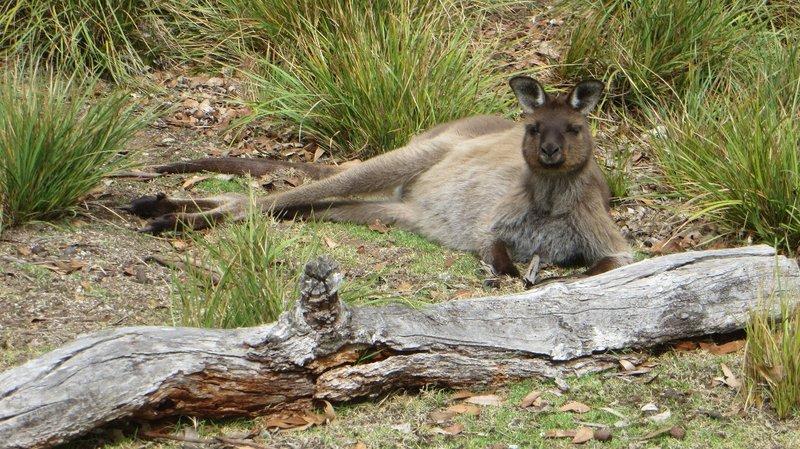 Un koala qui se réveille de sa sieste