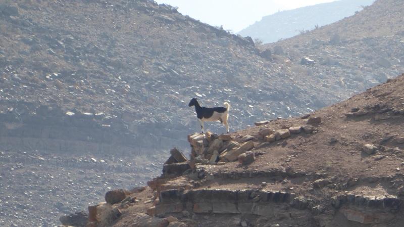Proud goat