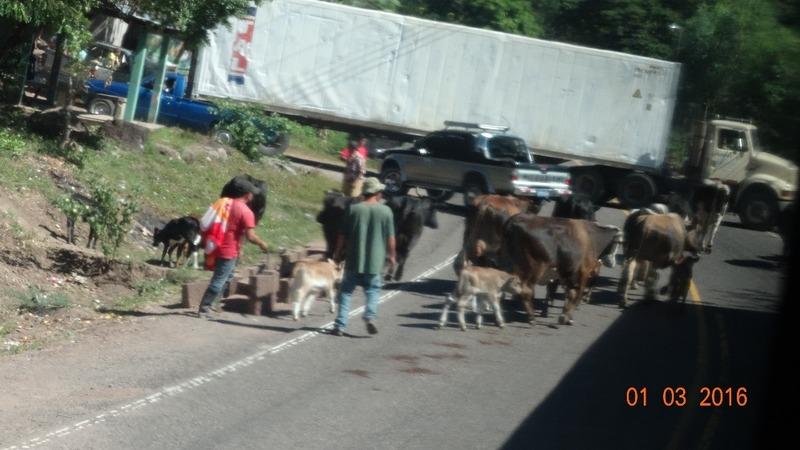 bye bye cows