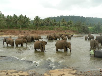 Elephants bathing at Pinnawala
