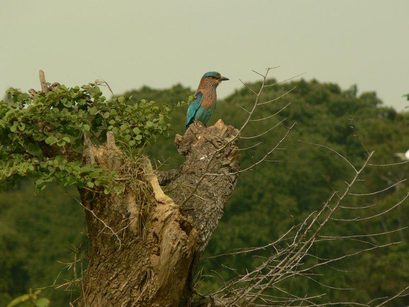 A lovely bird at Hingurakgoda