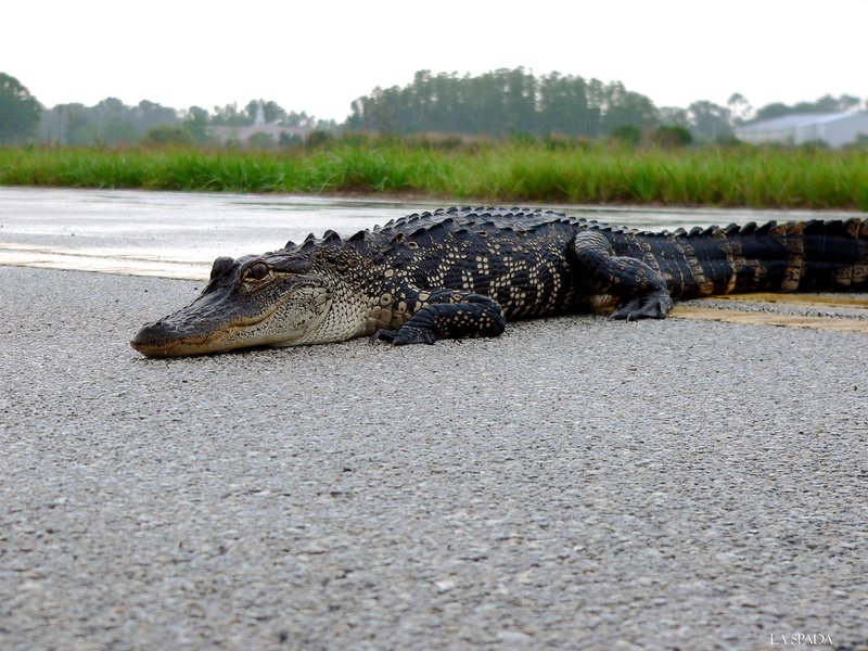 Out of place alligator
