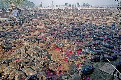 Photo of slaughtered water buffaloes left in the open field