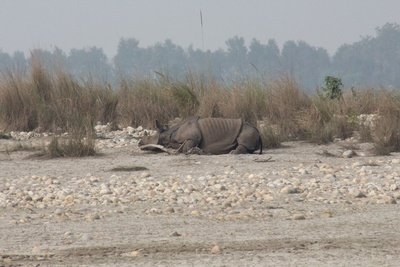 Sleeping Rhino