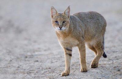 jungle-cat-in-makalu-barun-national-park-punjab