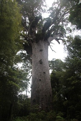 270_waipoua-kauri-forest-new-zealand_31543231373_o.jpg