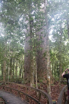270_waipoua-kauri-forest-new-zealand_32204140862_o.jpg