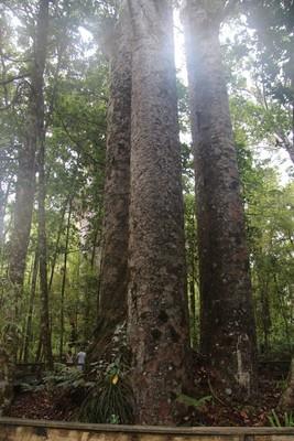 270_waipoua-kauri-forest-new-zealand_32354256765_o.jpg