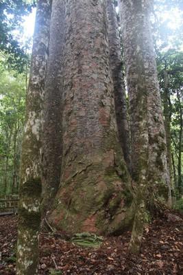 270_waipoua-kauri-forest-new-zealand_32354265915_o.jpg