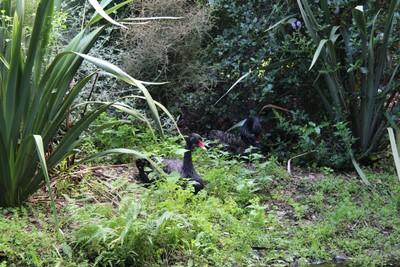 black-swans-willowbank-christchurch_49919182653_o.jpg