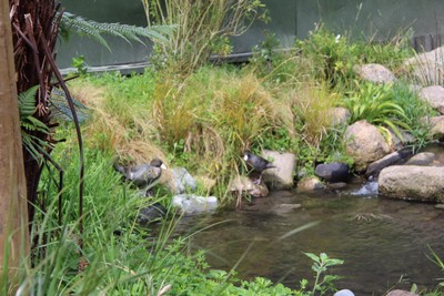 blue-duck-willowbank-christchurch_49919163018_o.jpg