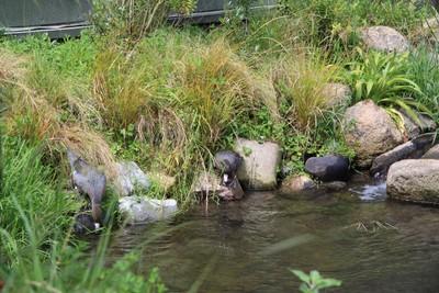 blue-duck-willowbank-christchurch_49919973532_o.jpg