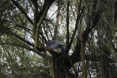chatham-pigeon-willowbank-christchurch_49919975137_o.jpg