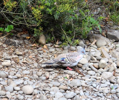 crested-pigeon-willowbank-christchurch_49919670776_o.jpg