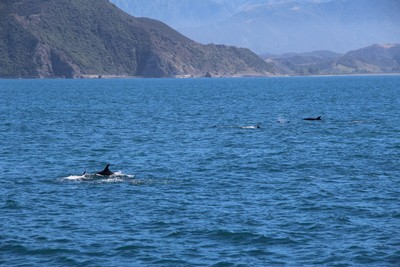 dolphins-and-pilot-whales-kaikoura_49919075018_o.jpg