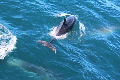 dolphins-and-pilot-whales-kaikoura_49919113548_o.jpg