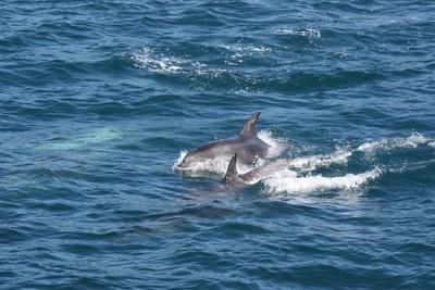 dolphins-and-pilot-whales-kaikoura_49919134018_o.jpg