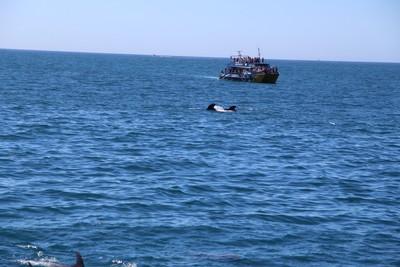 dolphins-and-pilot-whales-kaikoura_49919891572_o.jpg