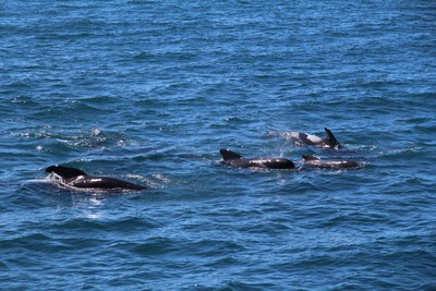 dolphins-and-pilot-whales-kaikoura_49919905007_o.jpg