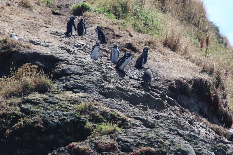 large_magellan-penguins-punihuil_33662351394_o.jpg