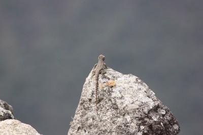 lizard-at-machu-picchu_48881086292_o.jpg