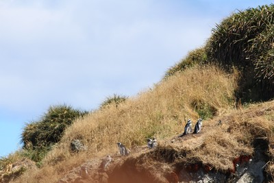 magellan-penguins-punihuil_34344101092_o.jpg