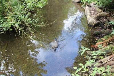 paradise-duck-willowbank-christchurch_49919969902_o.jpg