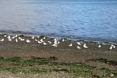 shorebirds-and-an-oystercatcher-on-caulin-beach-chilo-chile_32561651443_o.jpg