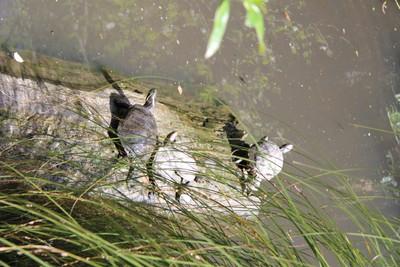 turtles-willowbank-christchurch_49919173383_o.jpg