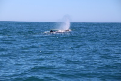 whale-3-kaikoura_49919496351_o.jpg