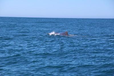 whale-3-kaikoura_49919804267_o.jpg