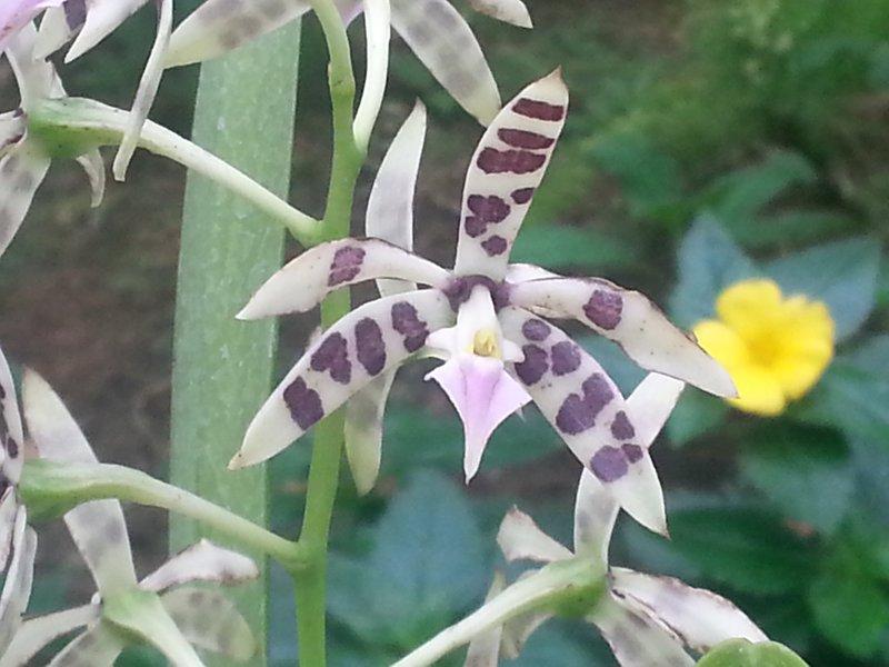 Orchid - Shinjuku Gardens