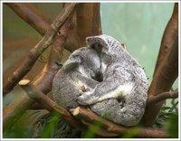 Koalas Hug