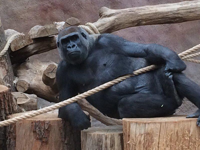Relaxed gorilla