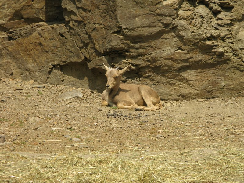 Young antelope of some sort