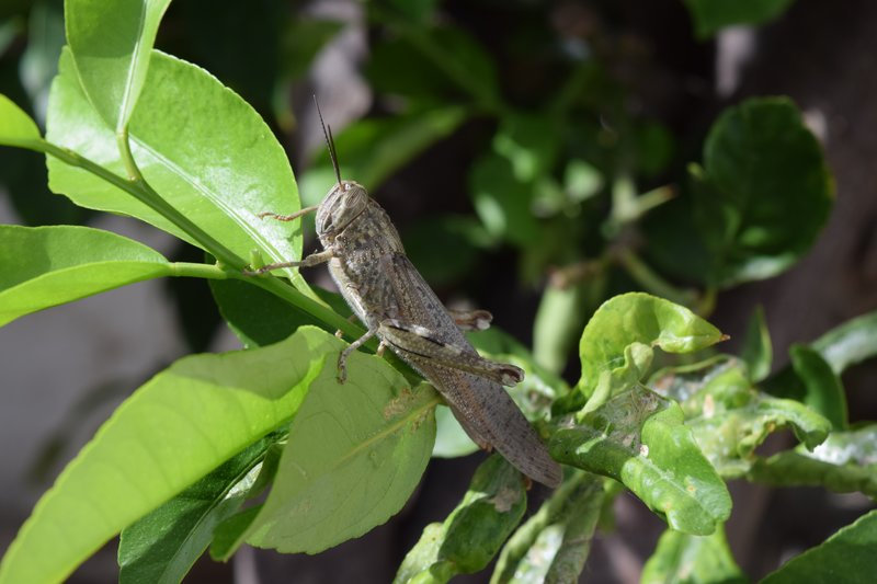 Egyption Grasshopper