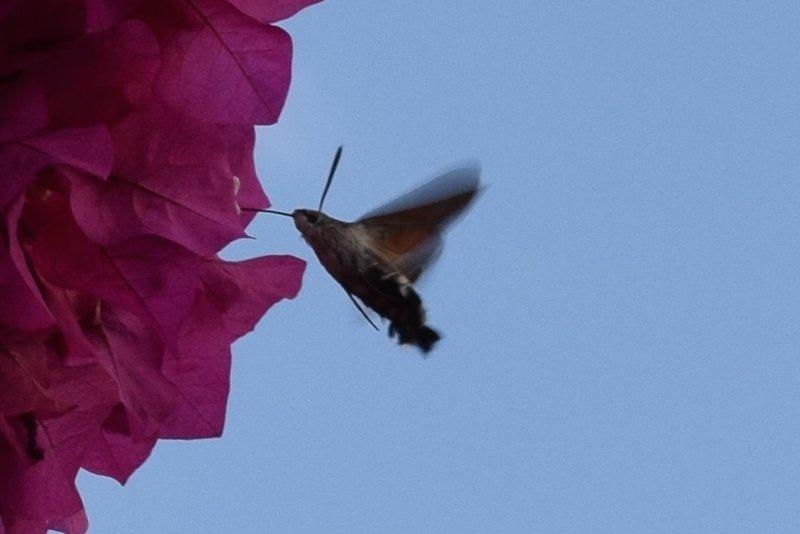 Hummingbird Hawkmoth 5