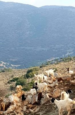 C - Cretan goats