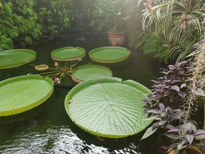 Victoria waterlily