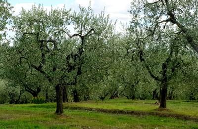 Veganwinery_olivegrove
